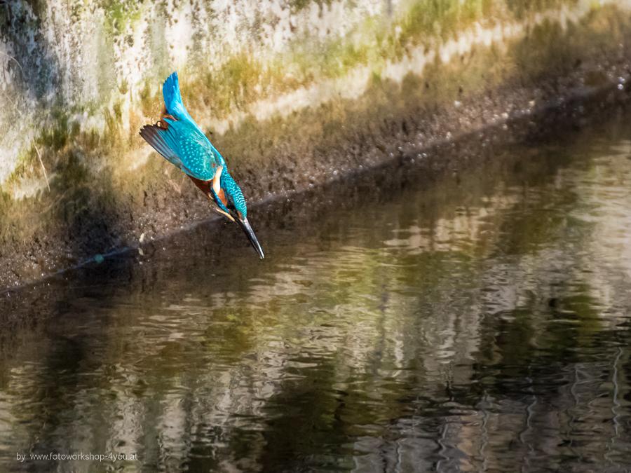 Eisvogel – und wie du ihn im Flug fotografierst!
