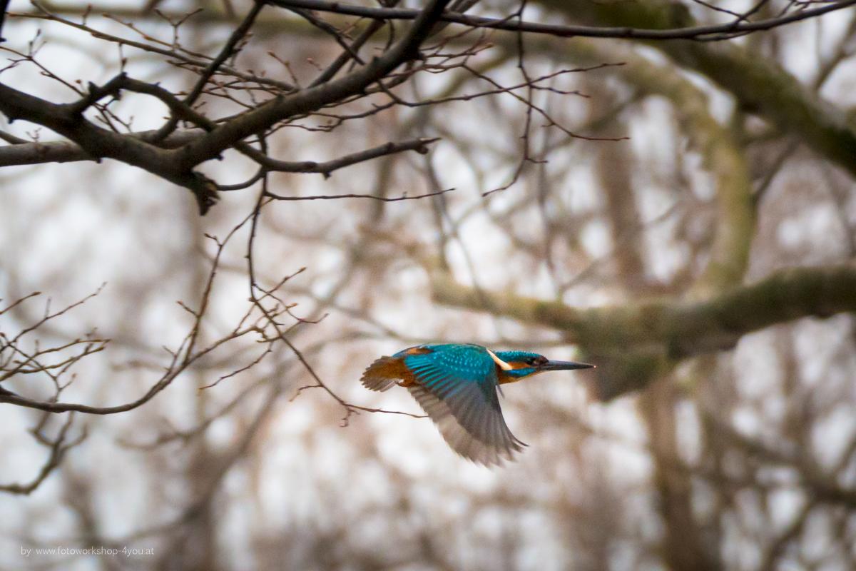 Eisvogel - Fotokurse Martin Winkler