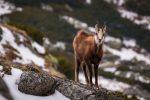 Fotoreisen Martin Winkler - Hohe Tatra Gämse