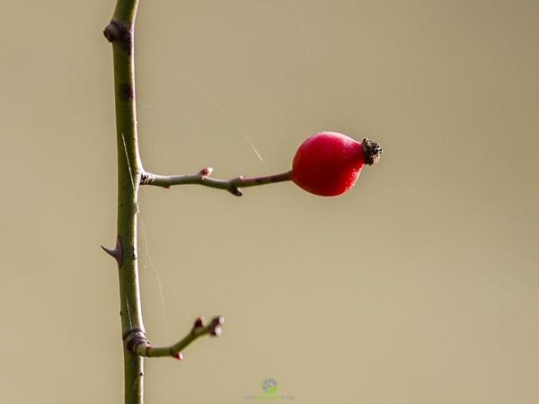 Hagebutte- Fotokurse Martin Winkler