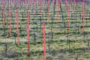 Muster - Weingarten