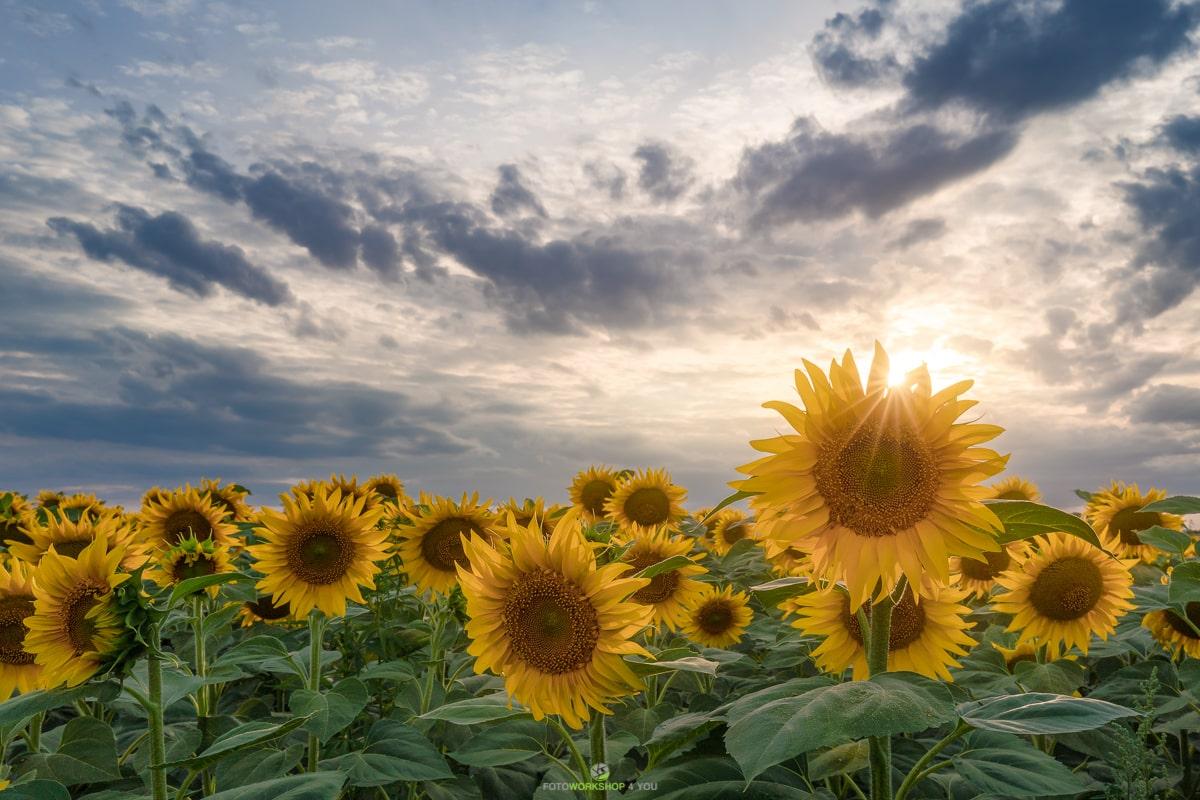 Sonnenblumen richtig fotografieren
